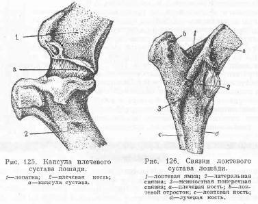 Венечный сустав животных строение коленный сустав у животных