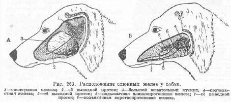 veterinariya-analnaya-zheleza