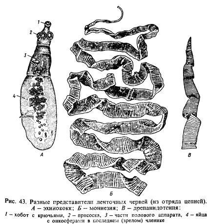 ленточные паразиты у человека лечение